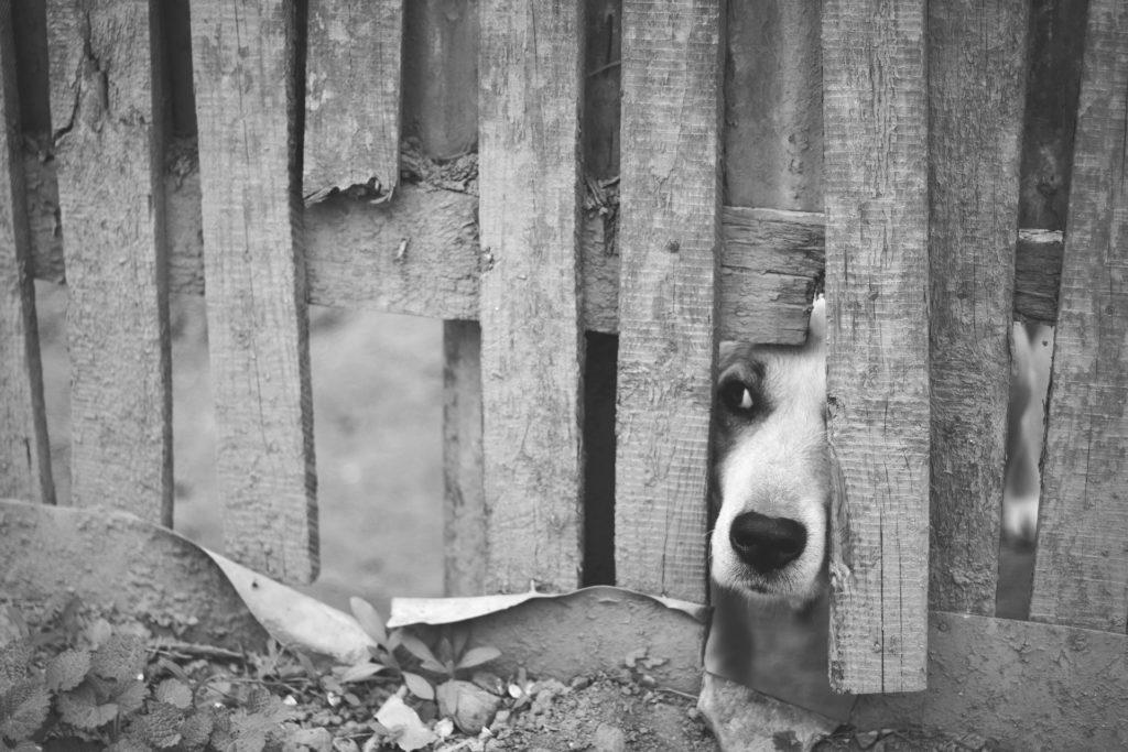 Любопытная собака подглядывает через забор
