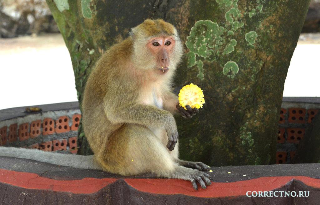 Интересный факт, обезьяна ест кукурузу