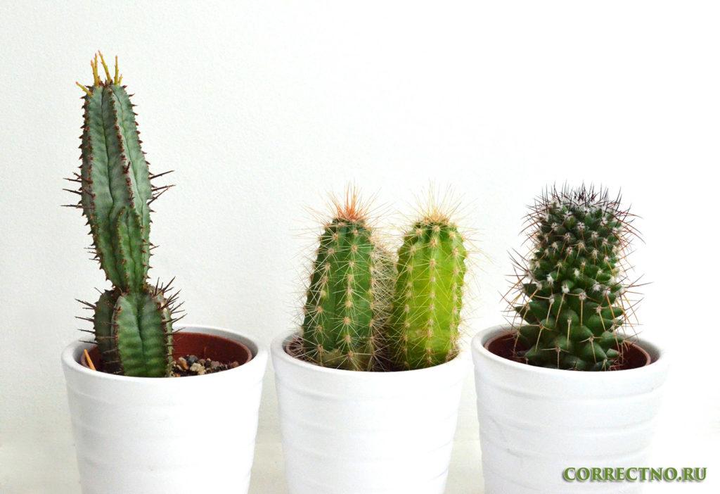 необъятный набор кактусов