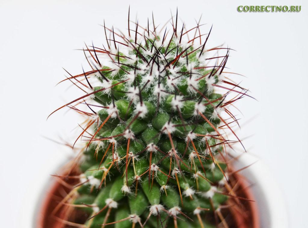 необъятный колючий кактус